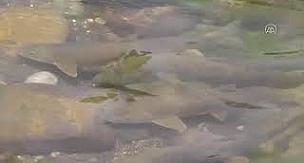 Munzur Çayı'nda yaşayan ak ve sazan balıkları